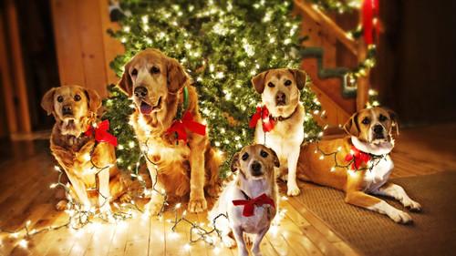 Желтые собаки на фоне елки, обои 2000px × 1125px