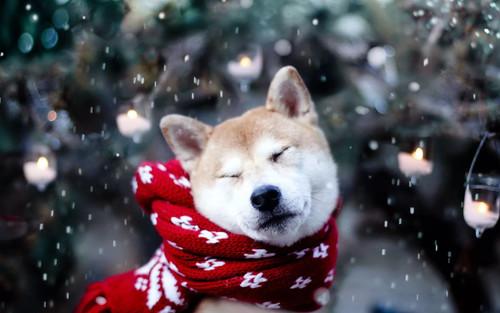 Собака с шарфом, обои 1920px × 1200px